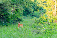 Nervously Alone. A White-tailed fawn grazing along a trail in Bald Knob National Wildlife Refuge Royalty Free Stock Photo