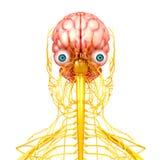 Nervsystem av den mänskliga sikten för främre sida Arkivbild