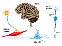 Nervsystem Mänsklig anatomi stock illustrationer