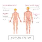 Nervsystemet Vektor Illustrationer