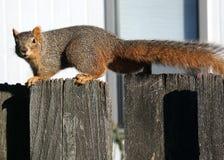 Nervtötendes Eichhörnchen auf dem Zaun Stockbild