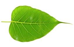 Nervure de feuille verte de bodhi Photos libres de droits
