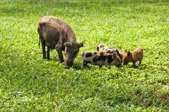 Nervures de porc photo stock