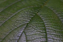 Nervures et texture de feuille vert-foncé photos libres de droits