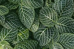 Nerw roślina, Naukowy imię: Fittonia verschaffeltii Lem , zdjęcia royalty free