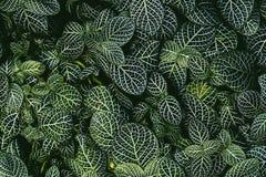 Nerw roślina, Naukowy imię: Fittonia verschaffeltii Lem , obraz royalty free