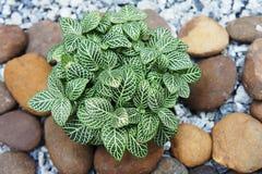 Nerw roślina (Fittonia verschaffeltii) obrazy royalty free