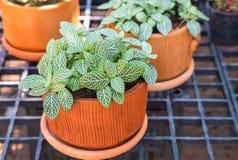 Nerw roślina lub mozaiki roślina, (Fittonia albivenis) (Fittonia verschaffeltii) obraz stock