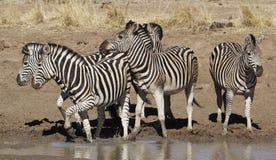 Nerwowa zebra wodopojem zdjęcia stock