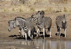 Nerwowa zebra wodopojem w Pilanesberg parku narodowym obraz stock