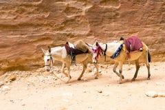Ânes dans le désert - Petra World Heritage Site, Jordanie Images stock