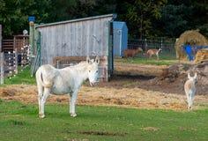 Ânes et chèvres à une ferme images libres de droits