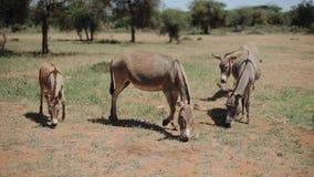 Ânes frôlant sur un champ en Afrique dans le jour d'été ensoleillé, mangeant l'herbe clips vidéos