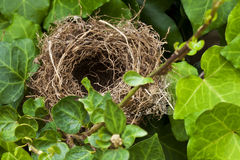 Nest. Bird's nest surrounded by ivy Royalty Free Stock Images