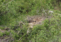 Nest of the African Sea Eagle Royalty Free Stock Image