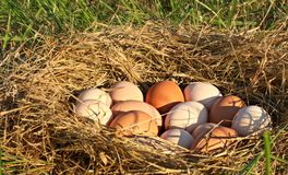 Nest Of All Natural Brown, Pink, And Speckled Chicken Eggs In Open, Grassy Field On A Farm In The Mountains Of South West Virginia stock photo