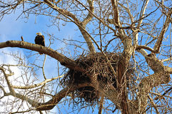 Nest of American bald eagles with an eagle on nearby branch Royalty Free Stock Photography