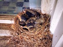 A nest of American robin new born babies. Sleeping in their nest in the early spring in New England Connecticut United States royalty free stock images