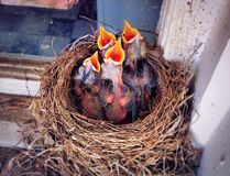 A nest of American robin new born babies open mouth. To eat in the spring in New England Connecticut United States stock image
