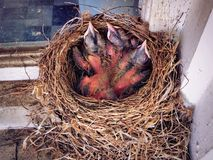 A nest of American robin new born babies. Sleeping in their nest in the early spring in New England Connecticut United States royalty free stock photo