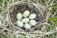 Nest of the Anas platyrhynchos. Anas platyrhynchos. The nest of the Mallard in nature Stock Image