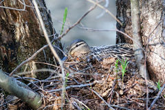 Nest of the Anas platyrhynchos. Anas platyrhynchos. The nest of the Mallard in nature Stock Photos