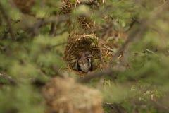 Nest Royalty Free Stock Photography