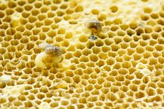 Nest of apis florea. Consists an embryo, adult and sweet water. Apis florea or dwarf honey bee, is one of two species of small Stock Photography