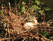 Nest baby bird egg dove Stock Image