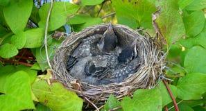 Nest with baby birds Stock Image