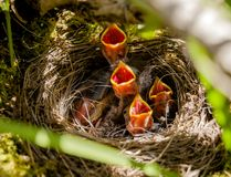 Nest of Baby Junco Birds royalty free stock photo