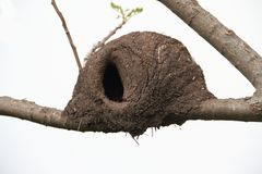 Nest of hornero Stock Image