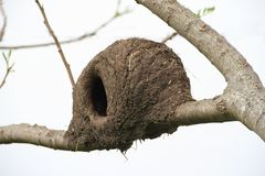 Nest of hornero Stock Photography