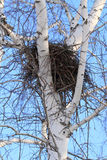 Nest of a bird on a birch Royalty Free Stock Image