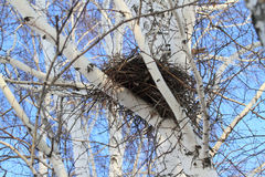 Nest of a bird on a birch Stock Image