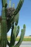 Nest. A bird nest in a cactus Stock Photo