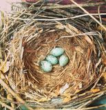 Nest and bird eggs Royalty Free Stock Image