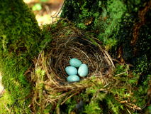 Nest of bird with eggs in the forest. Nest of bird on the tree with four mint eggs. Three colorful eggs lie next to each other in the nest, and soon the birds Stock Photos