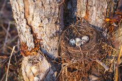 Nest with bird eggs in the spring forest stock photography