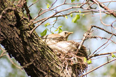 Nest of a bird in nature. Photo for your design royalty free stock images