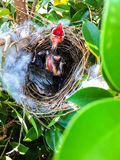 nest bird with newly hatched baby wrens waiting for their mother Stock Images