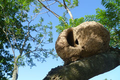 Nest. A bird nest in a tree Royalty Free Stock Image