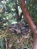 Nest of Blackbirds!! Royalty Free Stock Photography