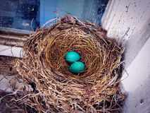 A nest of blue American robin birds eggs stock images