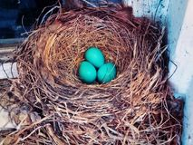 A nest of blue American robin birds eggs royalty free stock image