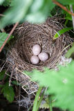 Nest of the Blyth's Reed Warbler (Acrocephalus dumetorum). Stock Photo