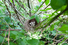 Nest of the Blyth's Reed Warbler (Acrocephalus dumetorum). Stock Photography