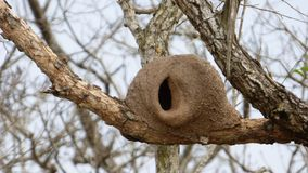 Nest in Bolivia, south America. Stock Photography