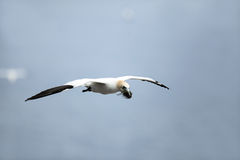 Nest Building. Northern Gannet flying over the Atlantic Ocean with nesting material in his beak Stock Photography