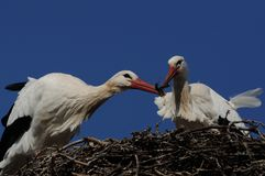 Nest Building by Stork. The white stork is a very large bird. This two birds on the picture are building their nest royalty free stock photos